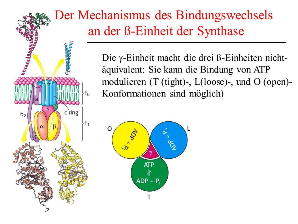 Der Mechanismus des Bindungswechsels an der ß-Einheit der Synthase Die -Einheit macht die drei ß-Einheiten nicht- äquivalent: Sie kann die Bindung von