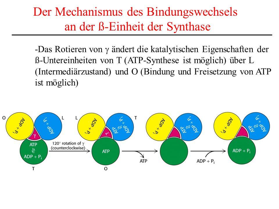 Der Mechanismus des Bindungswechsels an der ß-Einheit der Synthase -Das Rotieren von ändert die katalytischen Eigenschaften der ß-Untereinheiten von T