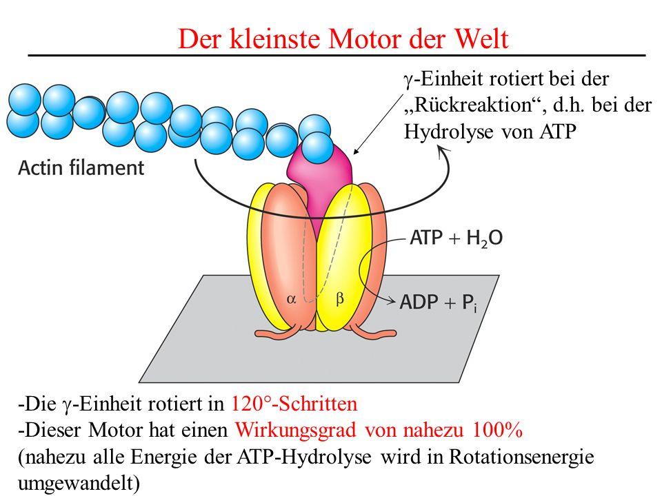 Der kleinste Motor der Welt -Einheit rotiert bei der Rückreaktion, d.h. bei der Hydrolyse von ATP -Die -Einheit rotiert in 120°-Schritten -Dieser Moto