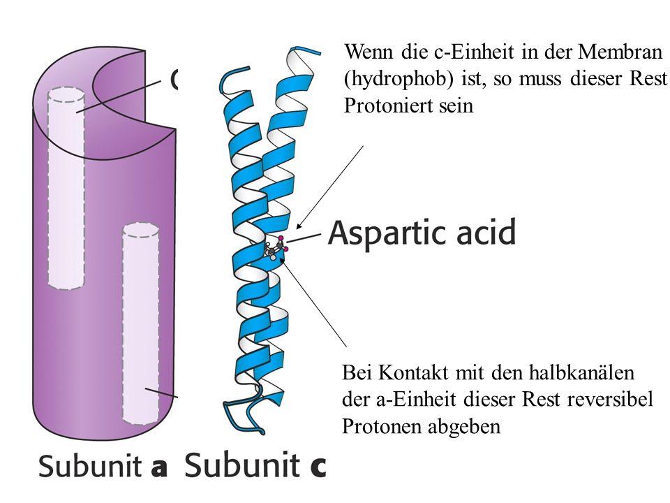 Wenn die c-Einheit in der Membran (hydrophob) ist, so muss dieser Rest Protoniert sein Bei Kontakt mit den halbkanälen der a-Einheit dieser Rest rever