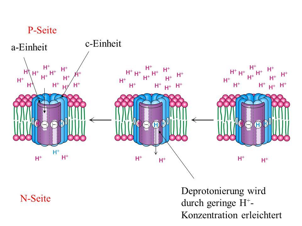 P-Seite N-Seite Deprotonierung wird durch geringe H + - Konzentration erleichtert c-Einheit a-Einheit