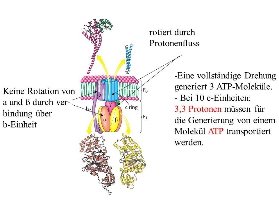 rotiert durch Protonenfluss Keine Rotation von a und ß durch ver- bindung über b-Einheit -Eine vollständige Drehung generiert 3 ATP-Moleküle. - Bei 10