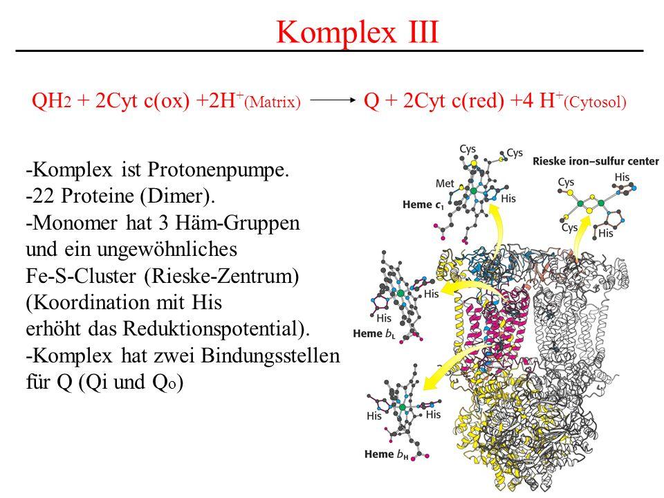 Komplex III -Komplex ist Protonenpumpe. -22 Proteine (Dimer). -Monomer hat 3 Häm-Gruppen und ein ungewöhnliches Fe-S-Cluster (Rieske-Zentrum) (Koordin