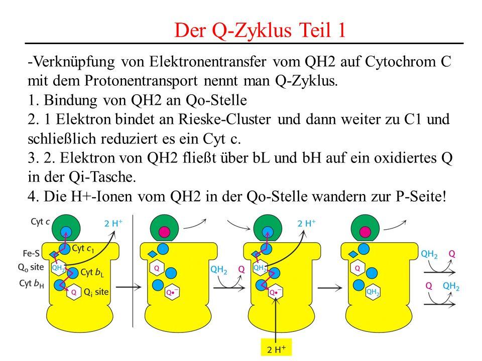 Der Q-Zyklus Teil 1 -Verknüpfung von Elektronentransfer vom QH2 auf Cytochrom C mit dem Protonentransport nennt man Q-Zyklus. 1. Bindung von QH2 an Qo