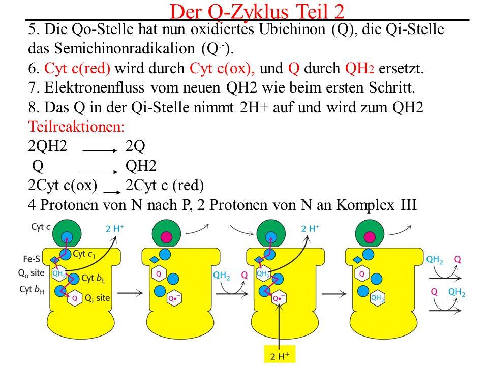 Der letzte Schritt: Die Reduktion von O2 Dieser Schritt wird durch die Cytochrom C-Oxidase (Komplex IV) katalysiert.