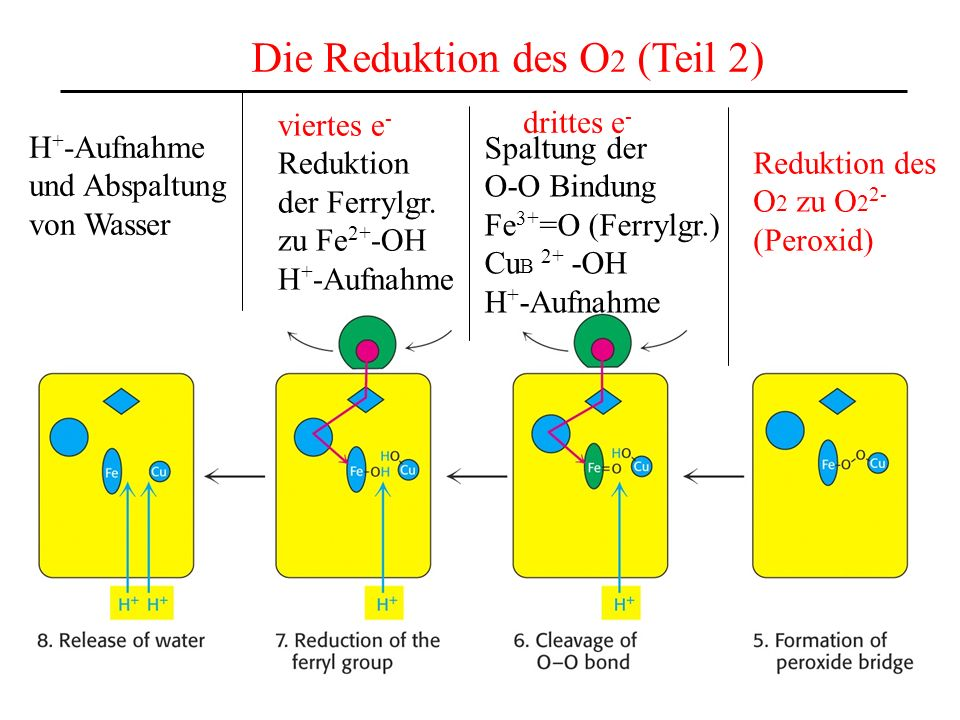 Die Reduktion des O 2 (Teil 2) Reduktion des O 2 zu O 2 2- (Peroxid) drittes e - Spaltung der O-O Bindung Fe 3+ =O (Ferrylgr.) Cu B 2+ -OH H + -Aufnah