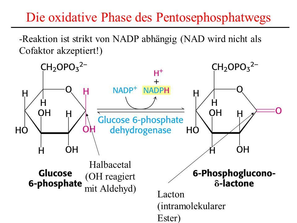 Die oxidative Phase des Pentosephosphatwegs Halbacetal (OH reagiert mit Aldehyd) Lacton (intramolekularer Ester) -Reaktion ist strikt von NADP abhängi