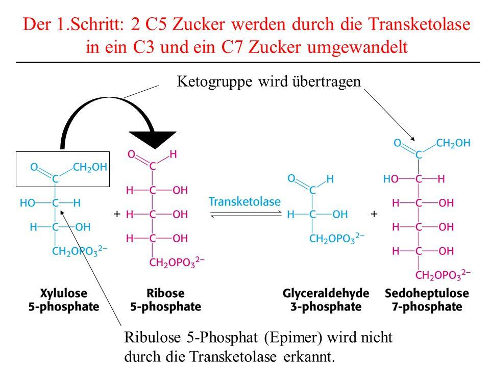 Der 1.Schritt: 2 C5 Zucker werden durch die Transketolase in ein C3 und ein C7 Zucker umgewandelt Ketogruppe wird übertragen Ribulose 5-Phosphat (Epim