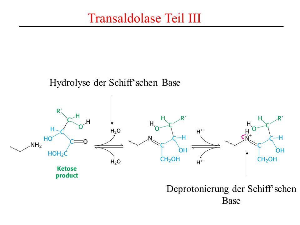 Transaldolase Teil III Hydrolyse der Schiffschen Base Deprotonierung der Schiffschen Base