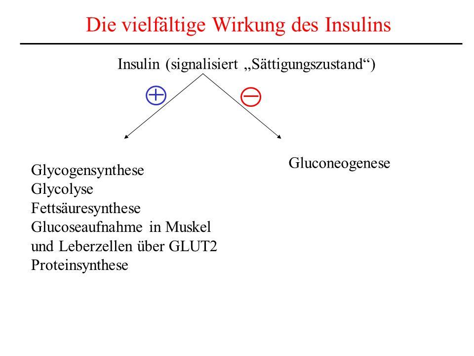 Die vielfältige Wirkung des Insulins Insulin (signalisiert Sättigungszustand) Glycogensynthese Glycolyse Fettsäuresynthese Glucoseaufnahme in Muskel u