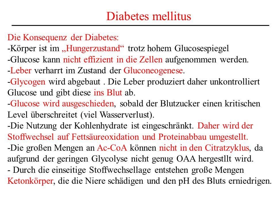 Diabetes mellitus Die Konsequenz der Diabetes: -Körper ist im Hungerzustand trotz hohem Glucosespiegel -Glucose kann nicht effizient in die Zellen auf