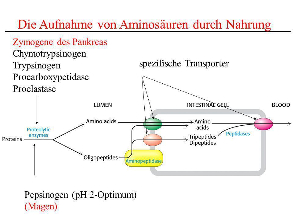 Die Aufnahme von Aminosäuren durch Nahrung Zymogene des Pankreas Chymotrypsinogen Trypsinogen Procarboxypetidase Proelastase Pepsinogen (pH 2-Optimum)