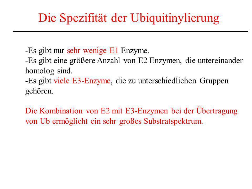 Die Spezifität der Ubiquitinylierung -Es gibt nur sehr wenige E1 Enzyme. -Es gibt eine größere Anzahl von E2 Enzymen, die untereinander homolog sind.