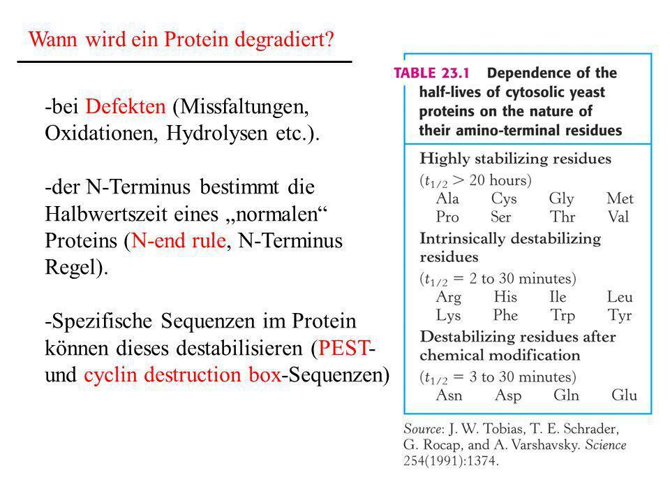 Wann wird ein Protein degradiert? -bei Defekten (Missfaltungen, Oxidationen, Hydrolysen etc.). -der N-Terminus bestimmt die Halbwertszeit eines normal