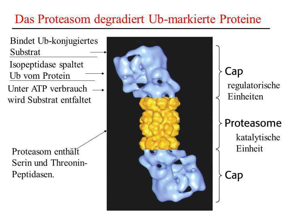Das Proteasom degradiert Ub-markierte Proteine regulatorische Einheiten katalytische Einheit Bindet Ub-konjugiertes Substrat Isopeptidase spaltet Ub v