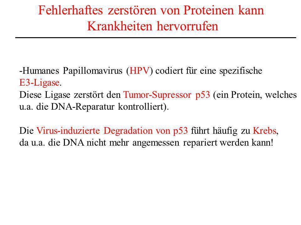 Fehlerhaftes zerstören von Proteinen kann Krankheiten hervorrufen -Humanes Papillomavirus (HPV) codiert für eine spezifische E3-Ligase. Diese Ligase z