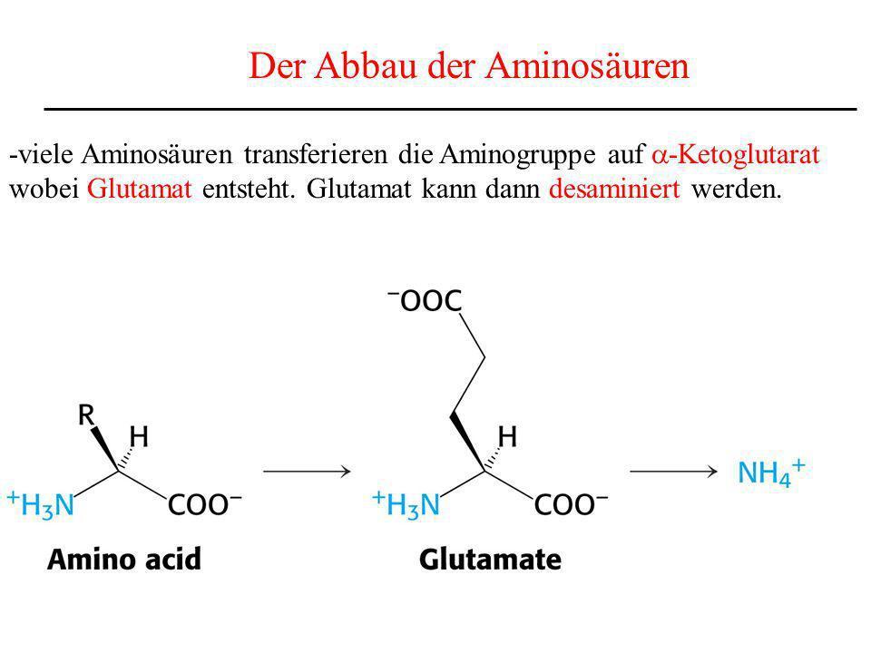 Der Abbau der Aminosäuren -viele Aminosäuren transferieren die Aminogruppe auf -Ketoglutarat wobei Glutamat entsteht. Glutamat kann dann desaminiert w