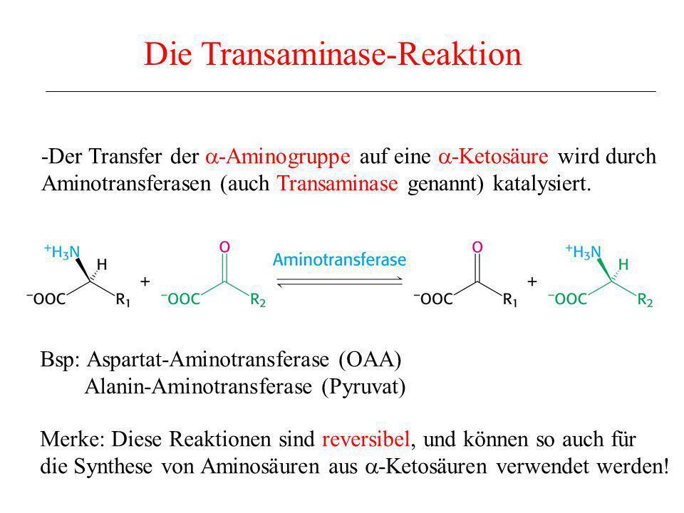 -Der Transfer der -Aminogruppe auf eine -Ketosäure wird durch Aminotransferasen (auch Transaminase genannt) katalysiert. Die Transaminase-Reaktion Bsp