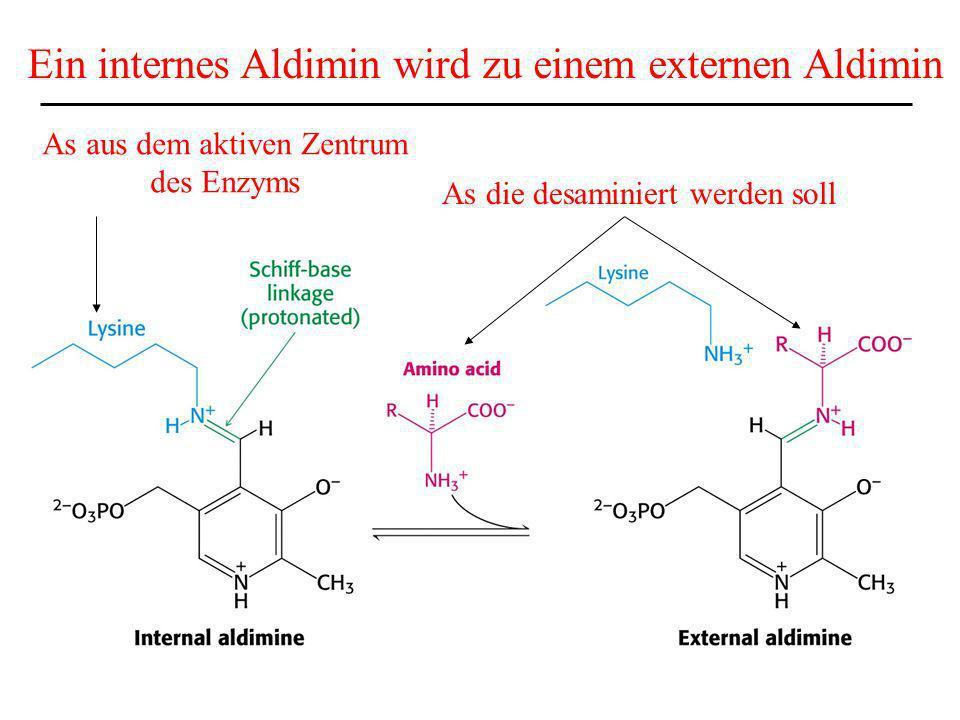 As aus dem aktiven Zentrum des Enzyms Ein internes Aldimin wird zu einem externen Aldimin As die desaminiert werden soll