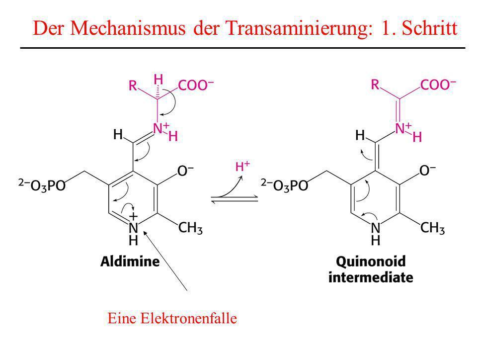 Eine Elektronenfalle Der Mechanismus der Transaminierung: 1. Schritt