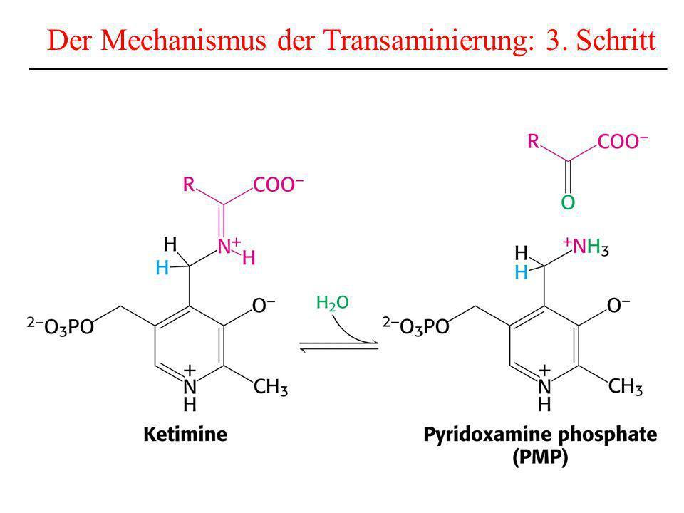 Der Mechanismus der Transaminierung: 3. Schritt