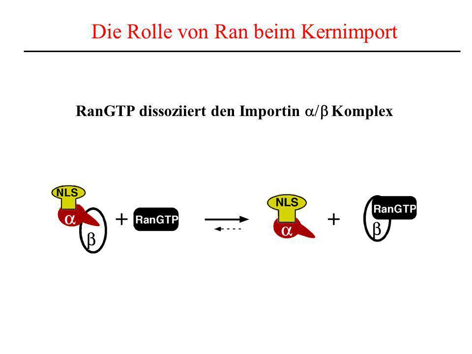 RanGTP dissoziiert den Importin Komplex Die Rolle von Ran beim Kernimport
