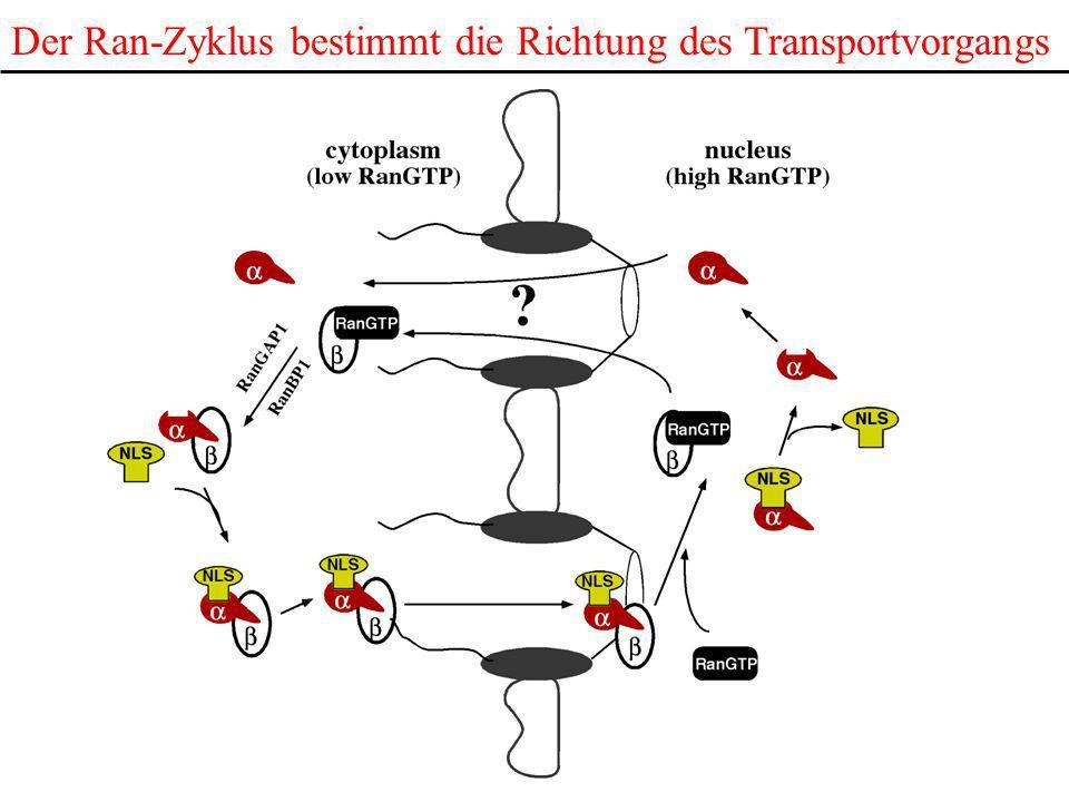 Der Ran-Zyklus bestimmt die Richtung des Transportvorgangs