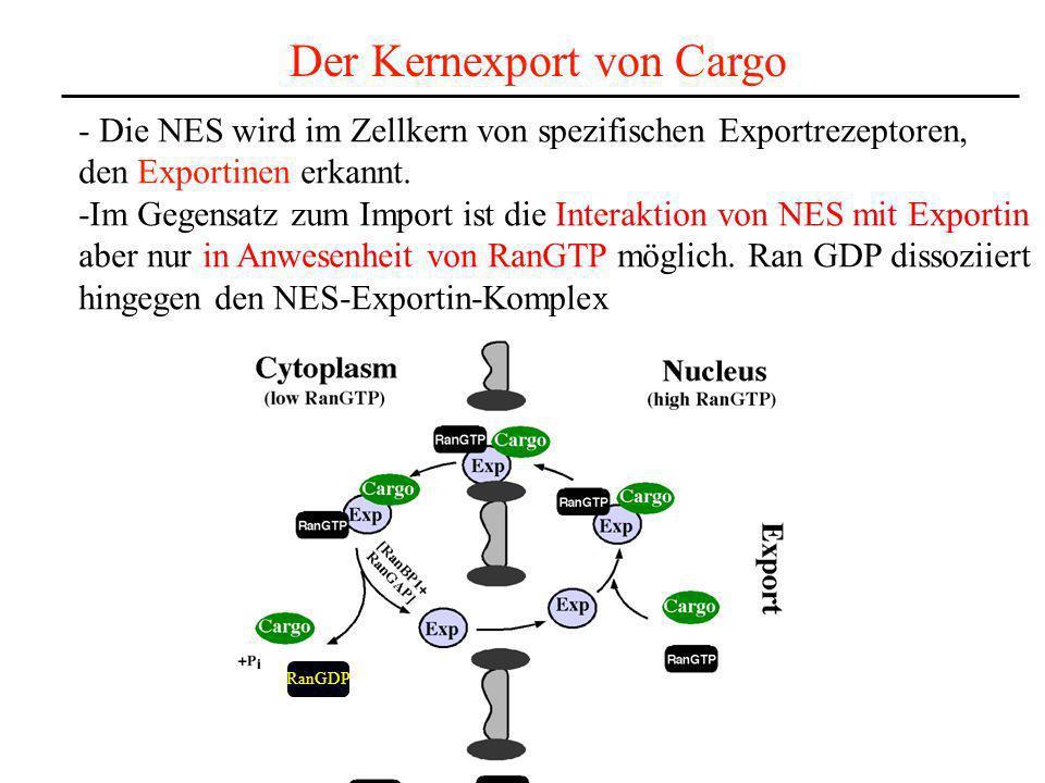 Der Kernexport von Cargo - Die NES wird im Zellkern von spezifischen Exportrezeptoren, den Exportinen erkannt. -Im Gegensatz zum Import ist die Intera