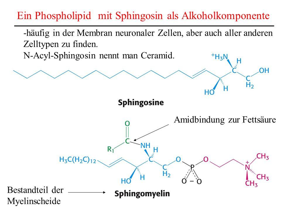Ein Phospholipid mit Sphingosin als Alkoholkomponente Amidbindung zur Fettsäure -häufig in der Membran neuronaler Zellen, aber auch aller anderen Zell