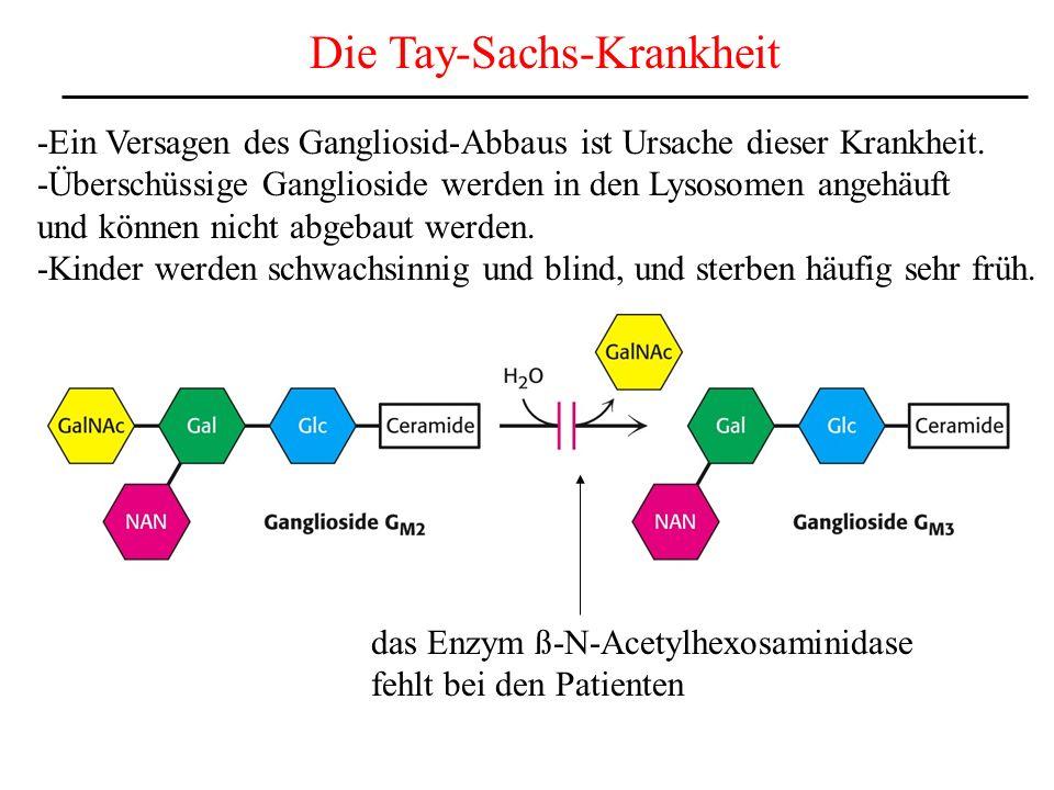 Die Tay-Sachs-Krankheit -Ein Versagen des Gangliosid-Abbaus ist Ursache dieser Krankheit. -Überschüssige Ganglioside werden in den Lysosomen angehäuft