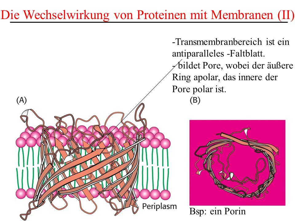 Die Wechselwirkung von Proteinen mit Membranen (II) Bsp: ein Porin -Transmembranbereich ist ein antiparalleles -Faltblatt. - bildet Pore, wobei der äu