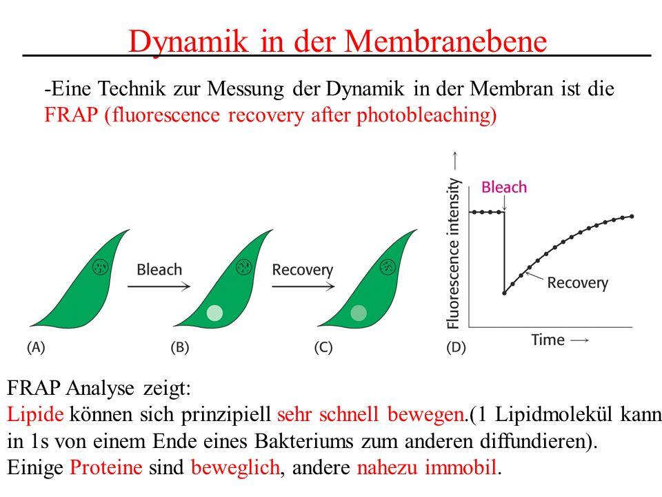 Dynamik in der Membranebene -Eine Technik zur Messung der Dynamik in der Membran ist die FRAP (fluorescence recovery after photobleaching) FRAP Analys