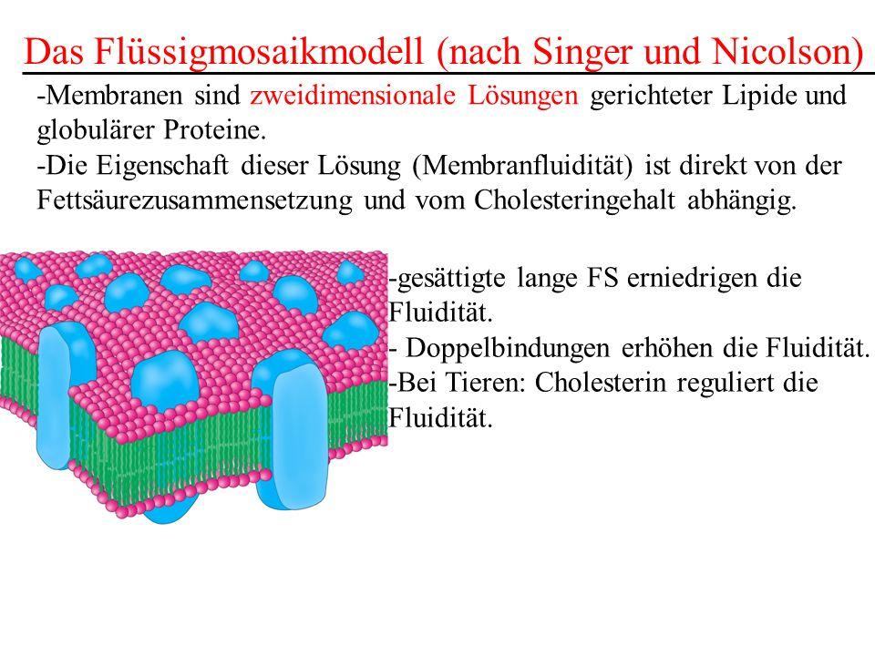 Das Flüssigmosaikmodell (nach Singer und Nicolson) -Membranen sind zweidimensionale Lösungen gerichteter Lipide und globulärer Proteine. -Die Eigensch