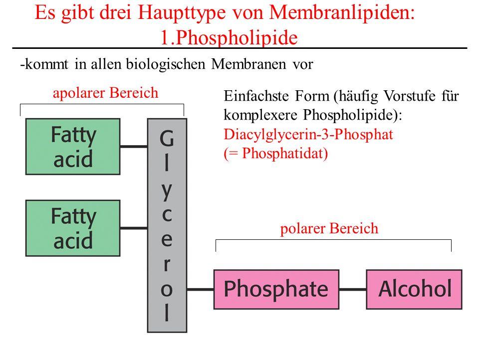 Es gibt drei Haupttype von Membranlipiden: 1.Phospholipide -kommt in allen biologischen Membranen vor polarer Bereich apolarer Bereich Einfachste Form