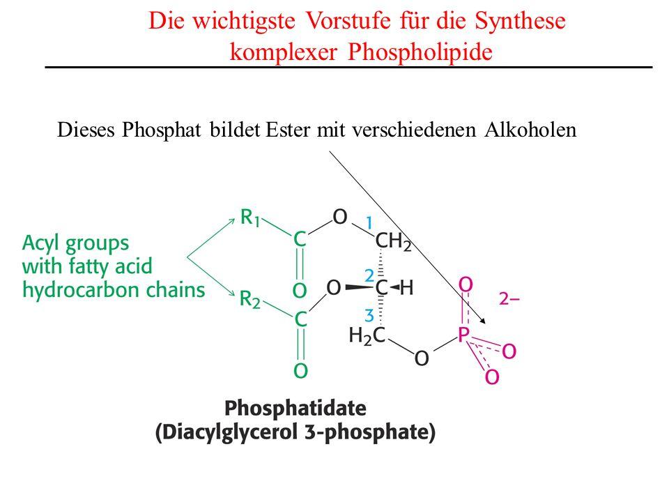 Die wichtigste Vorstufe für die Synthese komplexer Phospholipide Dieses Phosphat bildet Ester mit verschiedenen Alkoholen