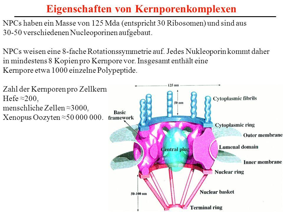 Eigenschaften von Kernporenkomplexen NPCs haben ein Masse von 125 Mda (entspricht 30 Ribosomen) und sind aus 30-50 verschiedenen Nucleoporinen aufgeba