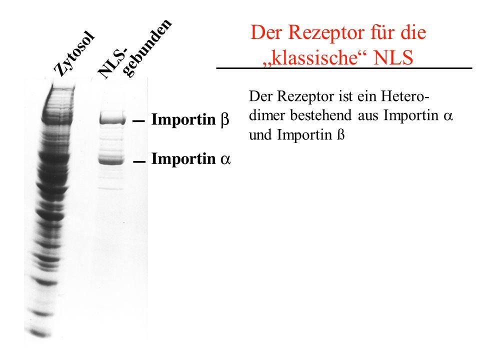 Der Rezeptor für die klassische NLS Der Rezeptor ist ein Hetero- dimer bestehend aus Importin und Importin ß