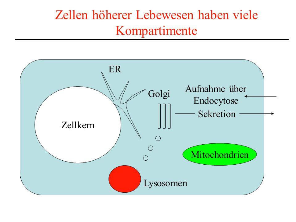 Zellen höherer Lebewesen haben viele Kompartimente Zellkern Mitochondrien Lysosomen Sekretion Aufnahme über Endocytose Golgi ER