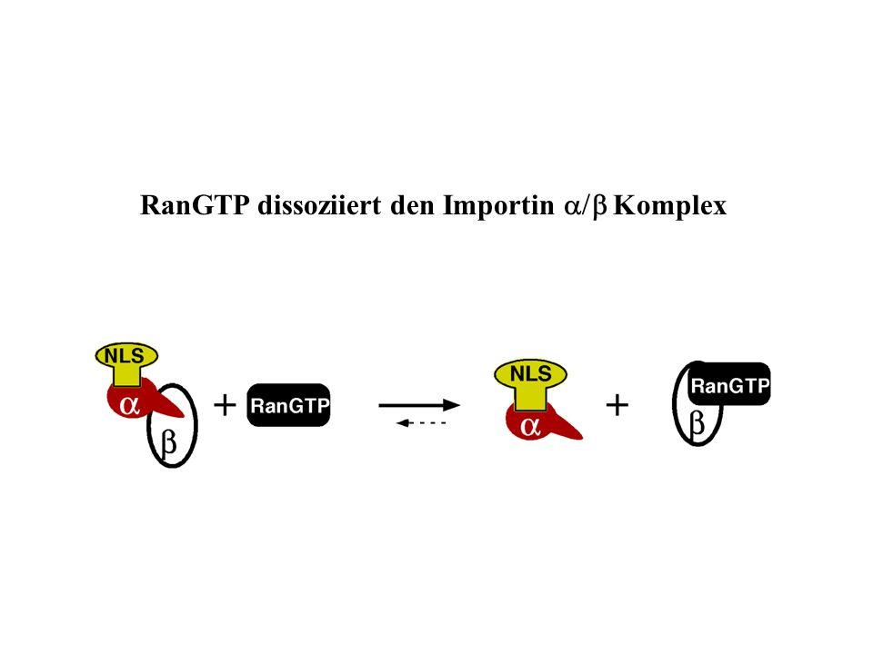RanGTP dissoziiert den Importin Komplex