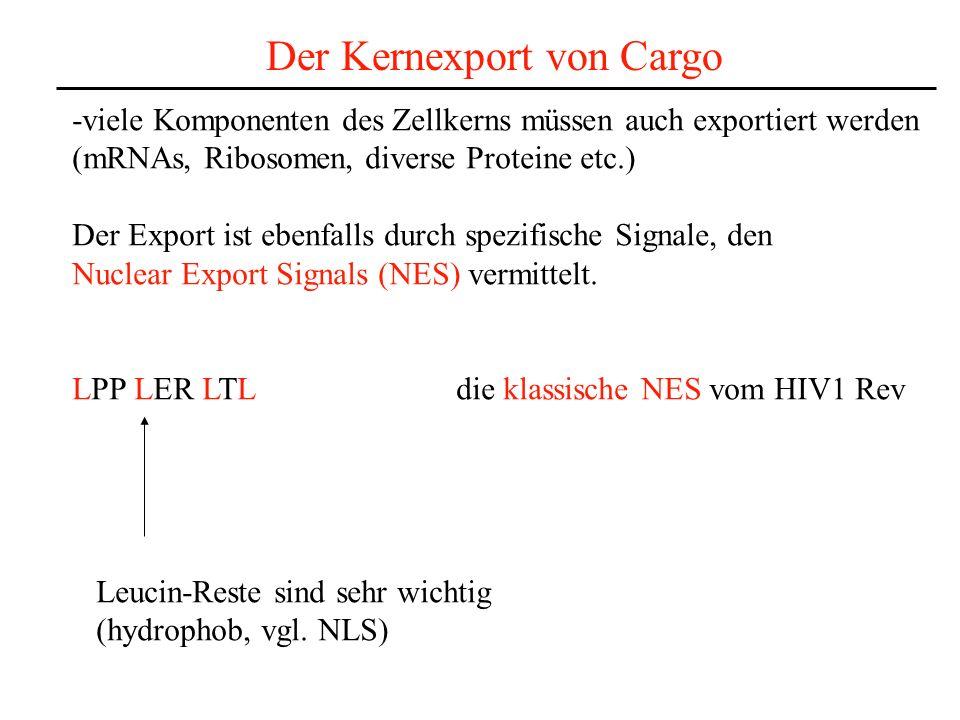 Der Kernexport von Cargo -viele Komponenten des Zellkerns müssen auch exportiert werden (mRNAs, Ribosomen, diverse Proteine etc.) Der Export ist ebenfalls durch spezifische Signale, den Nuclear Export Signals (NES) vermittelt.