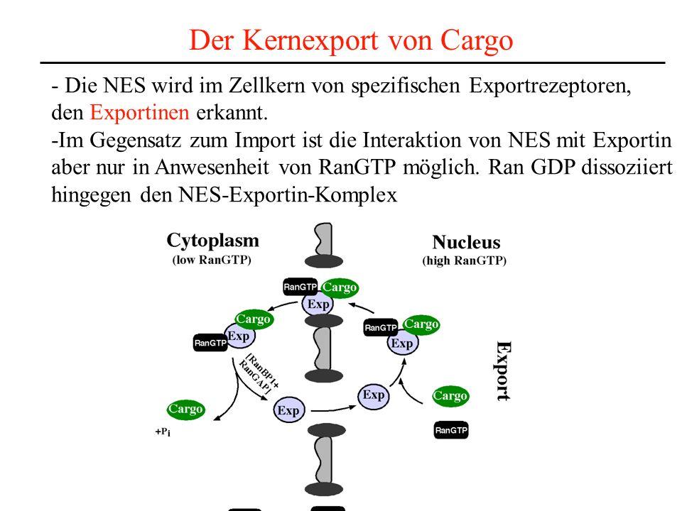 Der Kernexport von Cargo - Die NES wird im Zellkern von spezifischen Exportrezeptoren, den Exportinen erkannt.
