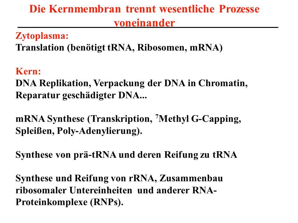 Die Kernmembran trennt wesentliche Prozesse voneinander Zytoplasma: Translation (benötigt tRNA, Ribosomen, mRNA) Kern: DNA Replikation, Verpackung der DNA in Chromatin, Reparatur geschädigter DNA...