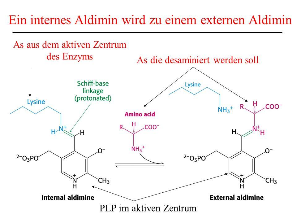 Serin und Threonin können direkt desaminiert werden -die meisten AS übertragen die Aminogruppe bei der Desaminierung auf -Ketoglutarat.