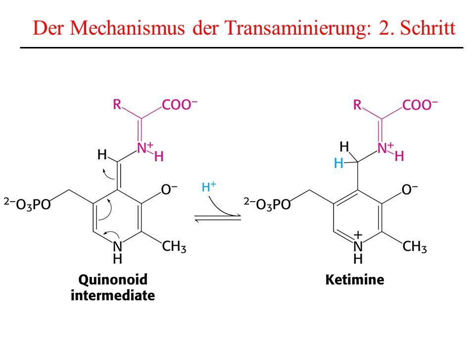Die Stöchiometrie des Harnstoffzyklus CO 2 + NH 4 + + 3 ATP + Aspartat + 2 H 2 O Harnstoff + 2 ADP + 2 Pi + AMP + PPi + Fumarat 2 ATP für die Herstellung von Carbamoylphosphat 1 ATPAMP für die Herstellung von Argininosuccinat