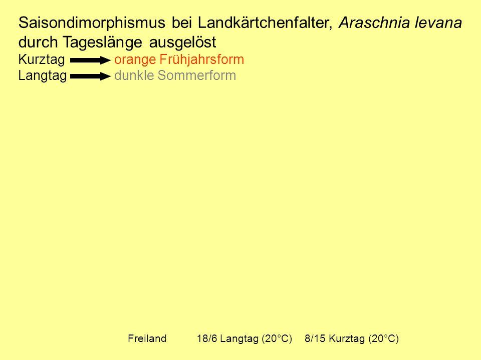 Saisondimorphismus bei Landkärtchenfalter, Araschnia levana durch Tageslänge ausgelöst Kurztag orange Frühjahrsform Langtag dunkle Sommerform Freiland 18/6 Langtag (20°C) 8/15 Kurztag (20°C)
