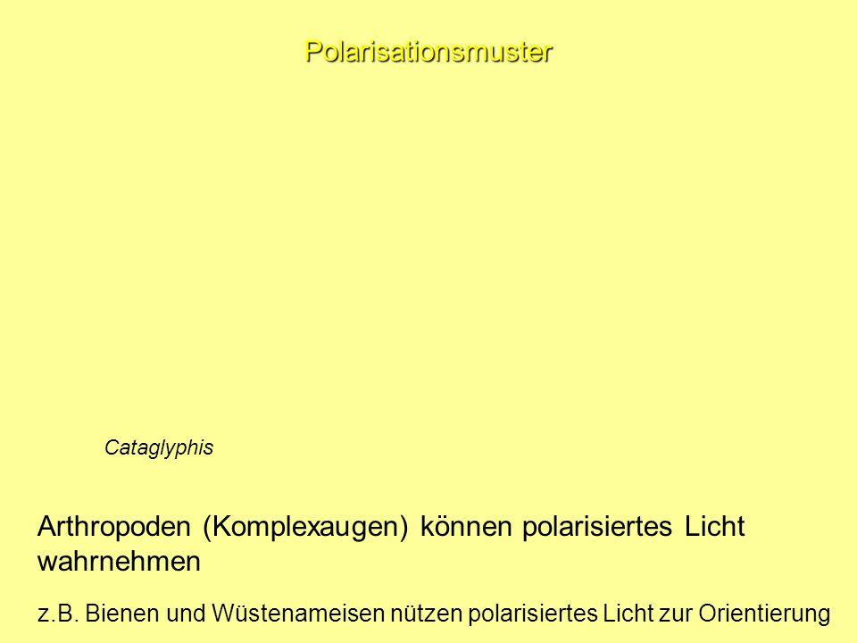 Polarisationsmuster Arthropoden (Komplexaugen) können polarisiertes Licht wahrnehmen z.B.