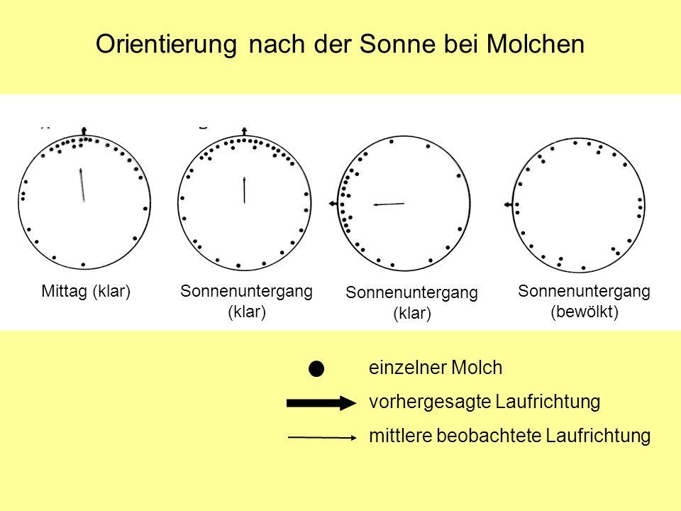 Orientierung nach der Sonne bei Molchen Mittag (klar) Sonnenuntergang (klar) Sonnenuntergang (bewölkt) einzelner Molch vorhergesagte Laufrichtung mittlere beobachtete Laufrichtung