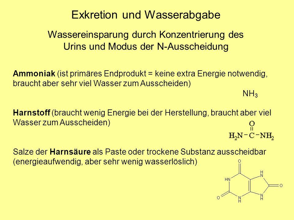 Ammoniak (ist primäres Endprodukt = keine extra Energie notwendig, braucht aber sehr viel Wasser zum Ausscheiden) Harnstoff (braucht wenig Energie bei der Herstellung, braucht aber viel Wasser zum Ausscheiden) Salze der Harnsäure als Paste oder trockene Substanz ausscheidbar (energieaufwendig, aber sehr wenig wasserlöslich) Wassereinsparung durch Konzentrierung des Urins und Modus der N-Ausscheidung Exkretion und Wasserabgabe NH 3