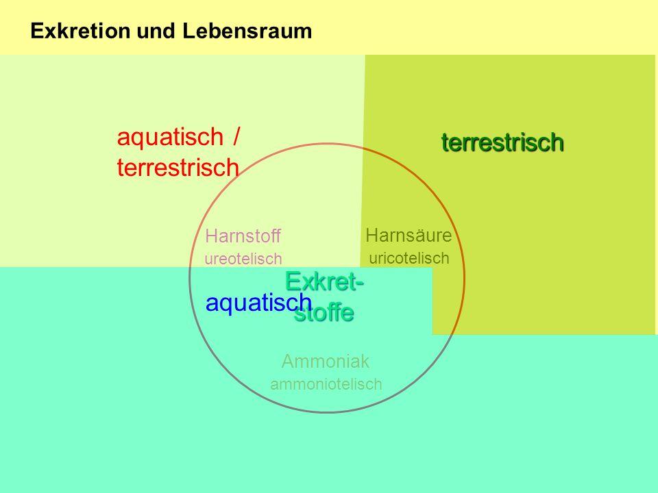 Exkretion und Lebensraum Ammoniak ammoniotelisch Harnstoff ureotelisch Harnsäure uricotelisch Exkret- stoffe aquatisch terrestrisch aquatisch / terrestrisch