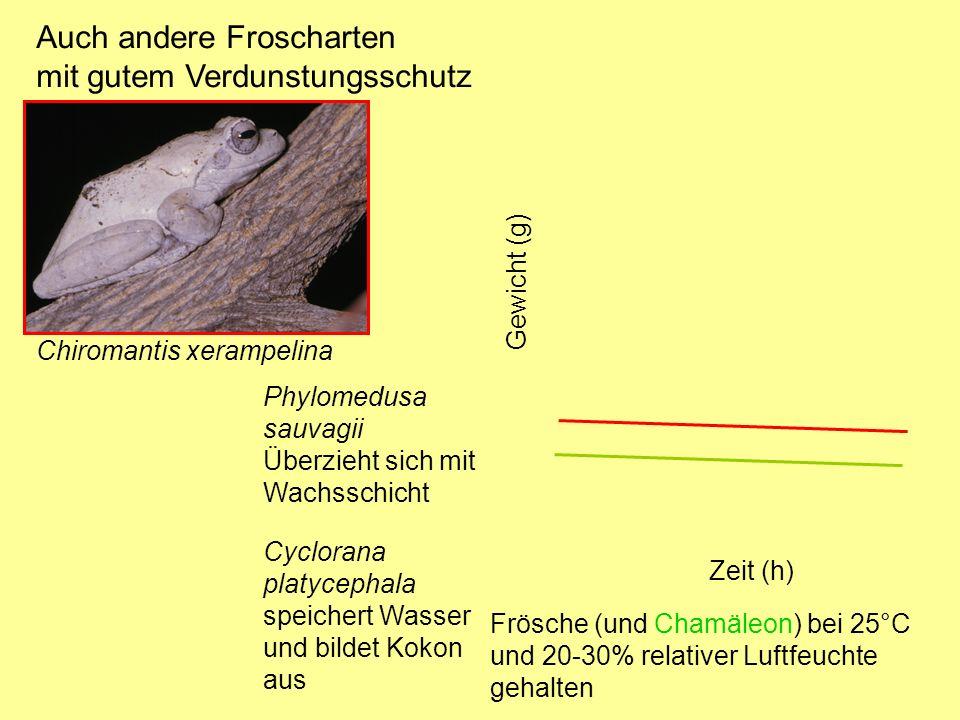Auch andere Froscharten mit gutem Verdunstungsschutz Chiromantis xerampelina Phylomedusa sauvagii Überzieht sich mit Wachsschicht Cyclorana platycephala speichert Wasser und bildet Kokon aus Zeit (h) Gewicht (g) Frösche (und Chamäleon) bei 25°C und 20-30% relativer Luftfeuchte gehalten